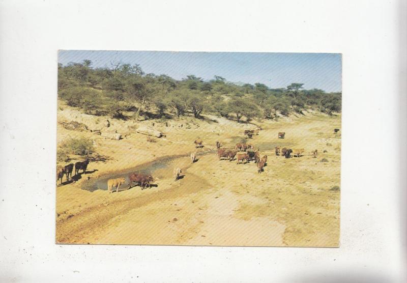 BF28089 rinder im evir namibia SWA    front/back image