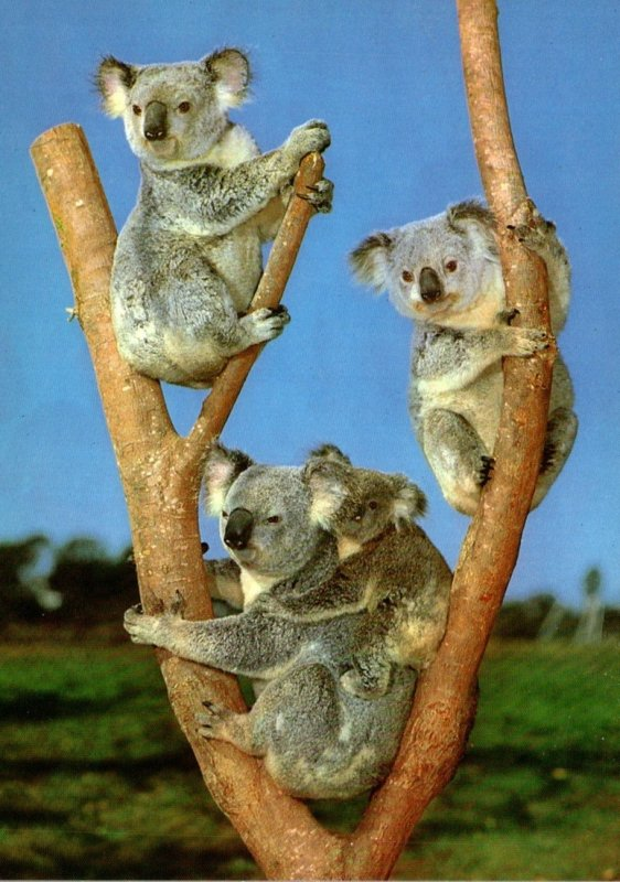 Australia Typical Koala Family