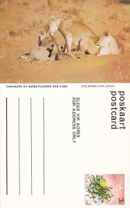 Lioness and cubs, Namibia, South West Africa, 40-60s