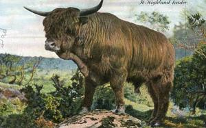 A Highland Leader - Steer
