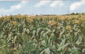 A Field Of Fine Tobacco In Bloom