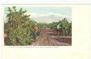 Picking Oranges Near Snow Fields, Southern California, 1900-1910s