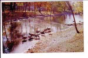 Canada Geese Island Park, Portage la Prairie Manitoba,