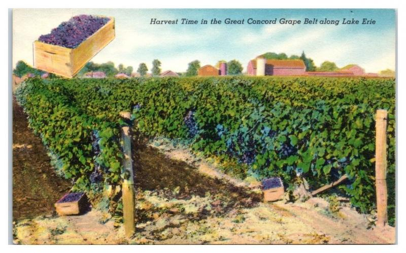 Harvest Time in the Great Concord Grape Belt along Lake Erie, NY State Postcard
