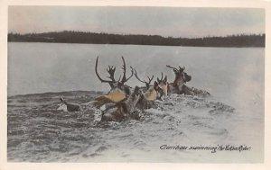 Caribou Swimming Yukon River Moose / Elk 1951 real photo