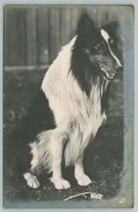 RPPC Portrait Postcard of B&W Border Collie With No Bone To Pick With You~c1910