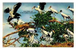 FL - Wood Ibis in the Everglades