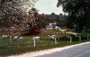 VT - Cows, Springtime