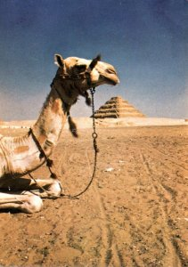 Egypt Camel and Saqqara Step Pyramid