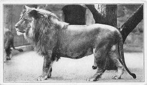 Tiger Leopard Lion Post Card African Lion National Zoo Park, Washington, DC, ...