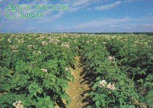 Maine Aroostook County Potato Field In Bloom
