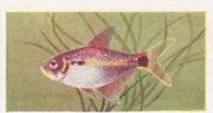 Pukka Tea Vintage Trade Card Aquarium Fish 1961 No 47 Head-and-Tail-Light
