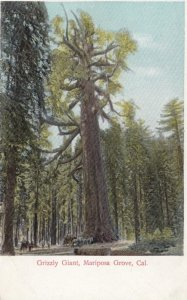 MARIPOSA GROVE , California, 1900-10s; Grizzly Giant