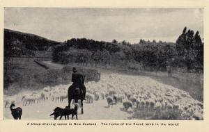 NEW ZEALAND, 30-50s; A sheep droving scene. Home of the finest lamb in the world