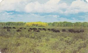 A Scenic View Of A Herd Of Buffalo Located In The National Parks In Canada, 1...
