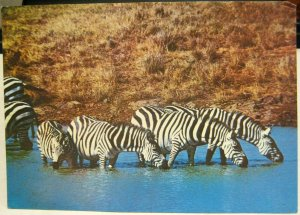 Kenya Zebra Drinking Water - posted 1987