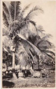 Philippines Illoilo Carabou Working In Coconut Plantation Real Photo