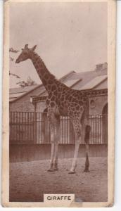 Cigarette Cards millhoff De Reszke Zoological Studies No 6 Giraffe