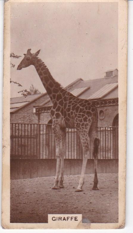 Cigarette Cards millhoff De Reszke Zoological Studies No 6 Giraffe