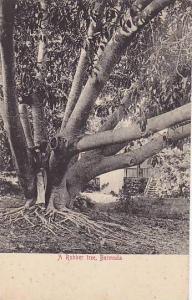 A Rubber Tree, Bermuda, 00-10s