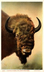 Yellowstone National Park Buffalo Head American Bison Haynes Photo