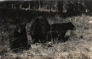 RP: The Oregon Black Bear , USA , PU-1944; Three bears
