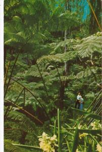 Hawaii Tree Fern Forest Along Road Around Kilauea Crater