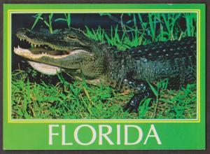Huge Florida Aligator - 1960s Unused