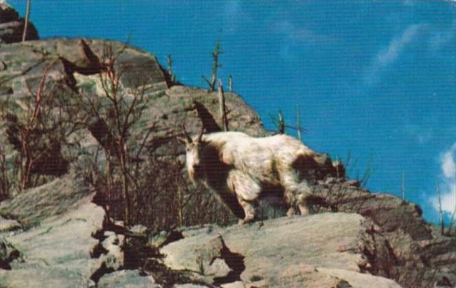 Canada Rocky Mountain Goat The Canadian Rockies