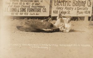 SPRINGFIELD , Oregon, 1900-10s ; Rodeo , Shorty Kelso Bulldogging