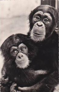 Chad Faune Africaine Chimpanzee & Young 1958 Real Photo