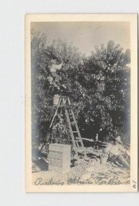 RPPC REAL PHOTO POSTCARD GEORGIA PICKING ALBERTA PEACHES WORKERS LADDERS CRATES