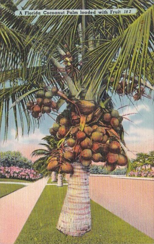 Florida Cocoanut Palm Tree Loaded With Fruit