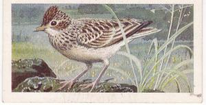 Trade Cards Brooke Bond Wild Birds in Britain No17 Skylark