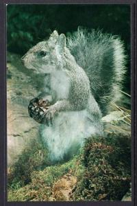 Grey Squirrel with Pine Cone