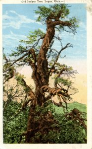 Old Juniper Tree at Logan, Utah