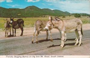 Donkeys Friendly Begging Burros On The Iron Mountain Road South Dakota
