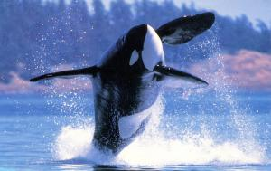 Orca Whales of Alaska