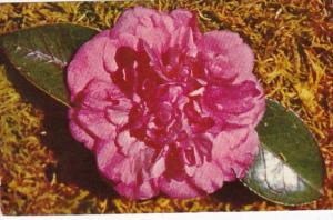 Alabama Mobile Walter D Bellingrath Camellia Bellingrath Gardens