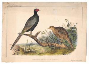 Phasianus Pheasant Cmdre Perry Japan Expedition 1854 Wm Hitchcock Bird LItho