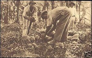 trinidad, Native Men Husking Coco-Nuts (1930s)