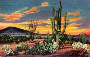 Cactus Sunset On The Desert Curteich