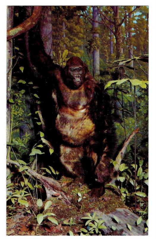 Philadelphia Academy Natural Sciences Gorilla Ape Postcard