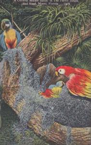 Florida Miami Colorful Macaw Family Parrot Jungle Red Road 1950