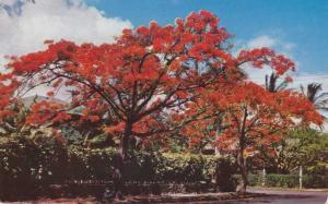 Jamaica - Royal Poinciana Flaming Tree