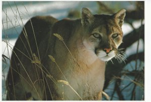 Postcard North American Wildlife Mountain Lion Cougar Unposted