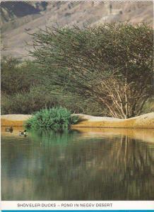 Israel Shoveler Ducks Pond In Negev Desert