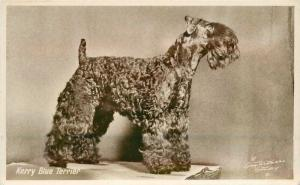 1930s Kerry Blue Terrier interior Withers RPPC real photo postcard 12637