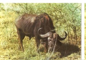Postal 045755 : Bufalo (Tanzania)
