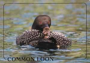 Minnesota State Bird The Common Loon